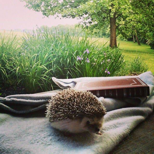 Here is Scooter the bookish hedgehog enjoying a lovely outdoor reading moment.