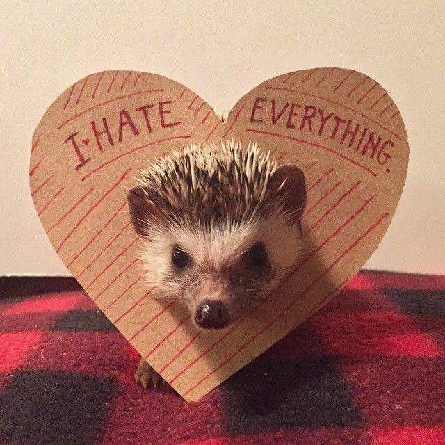 I hate everything, by hedgehog @boris_grump on Instagram