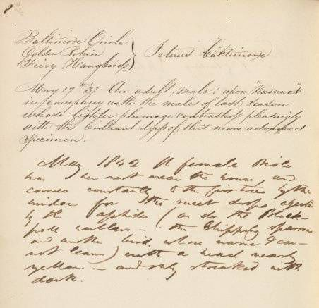 Henry David Thoreau's notes on the Baltimore Oriole