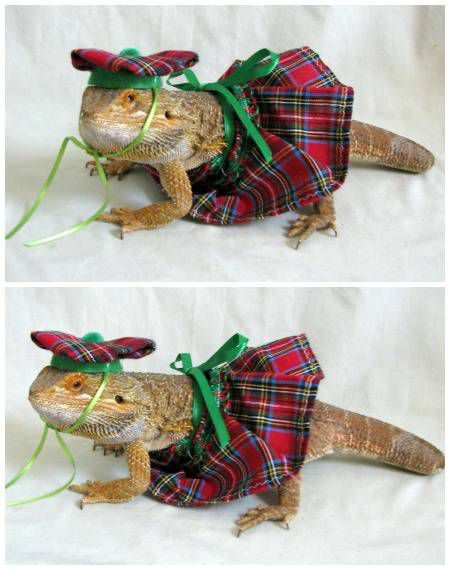A Scottish kilt and tam sized perfectly for a pet lizard. Ideal for the book lover who wants their dearest reptile to look like a character from Outlander.