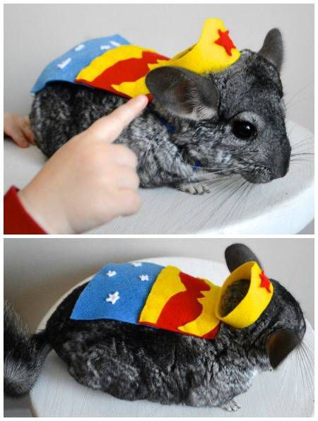 Thanks to this pet costume, you can finally dress your chinchilla as Wonder Woman.