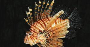 lionfish on a black background