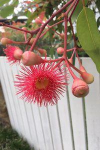 Pink gumnut flowers in Australia as seen in May Gibbs Gumnut Babies