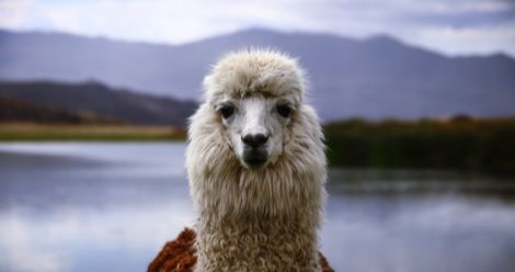 best books about llamas feature