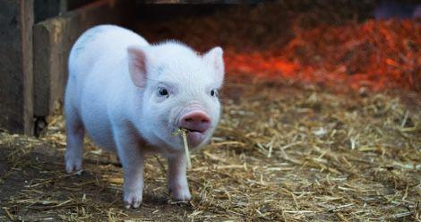 pig animals farm feature
