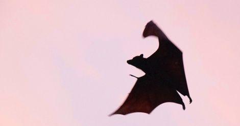 bat vampire feature