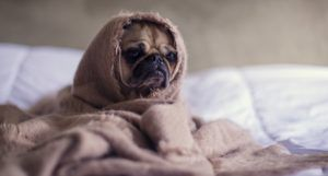 a pug wrapped in a blanket looking sad