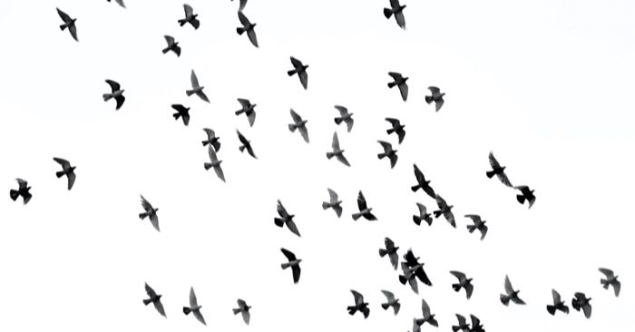 birds in flight against a white sky