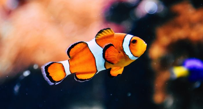 orange white and black tropical clown fish swimming