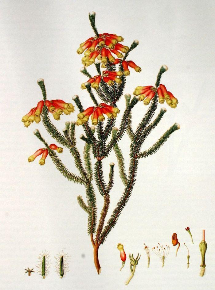 illustration of Erica Massoni plant by Franz Bauer