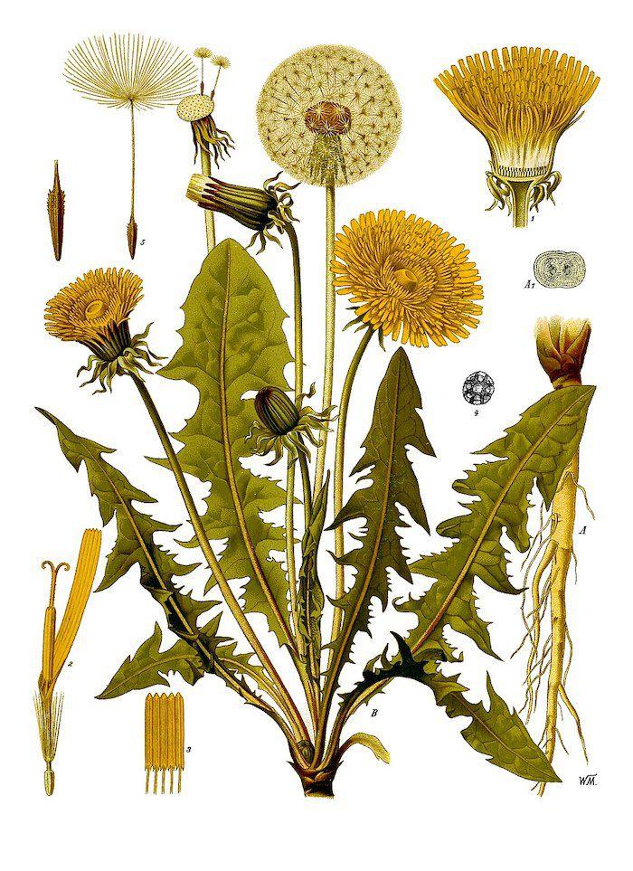 illustration of the common dandelion by Franz Eugen Köhler