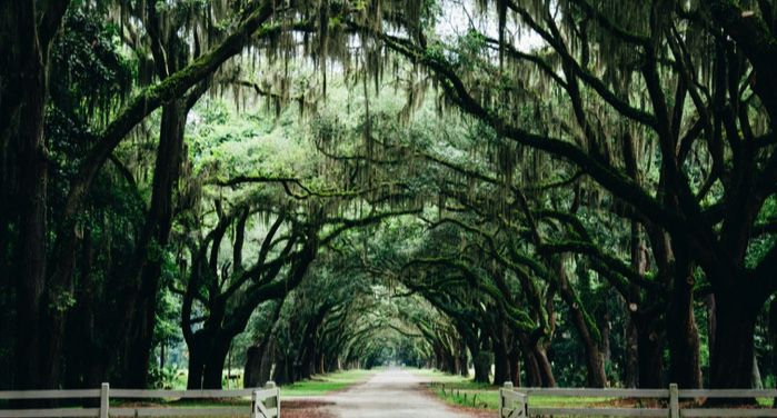 a pathway lined by arching live oak trees