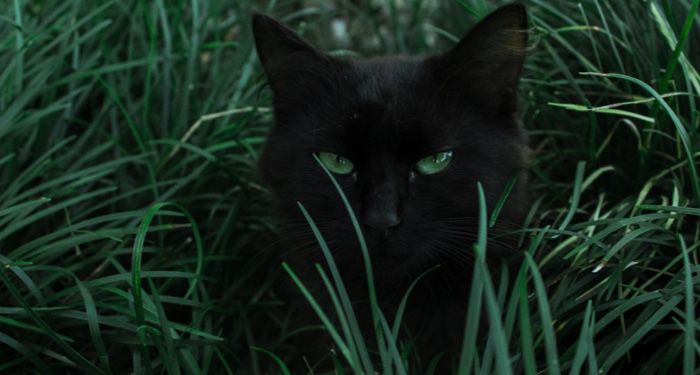 a black cat with green eyes hiding behind green grass