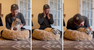 three stills from TikToks of Noodle the pug as he tries to sit up in bed
